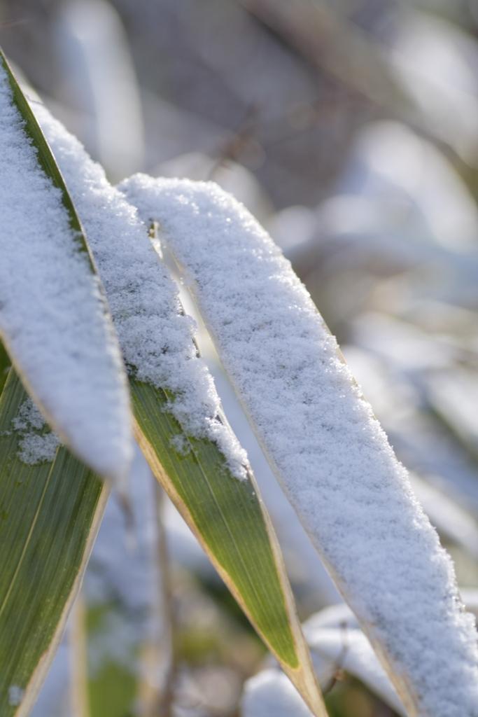 0122笹の雪朝.JPG