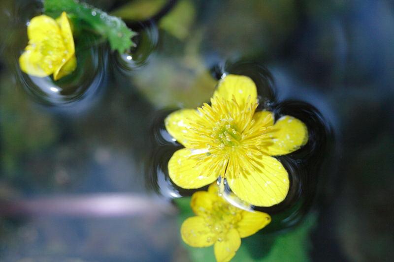 0518中庭水の中の黄色い花.JPG