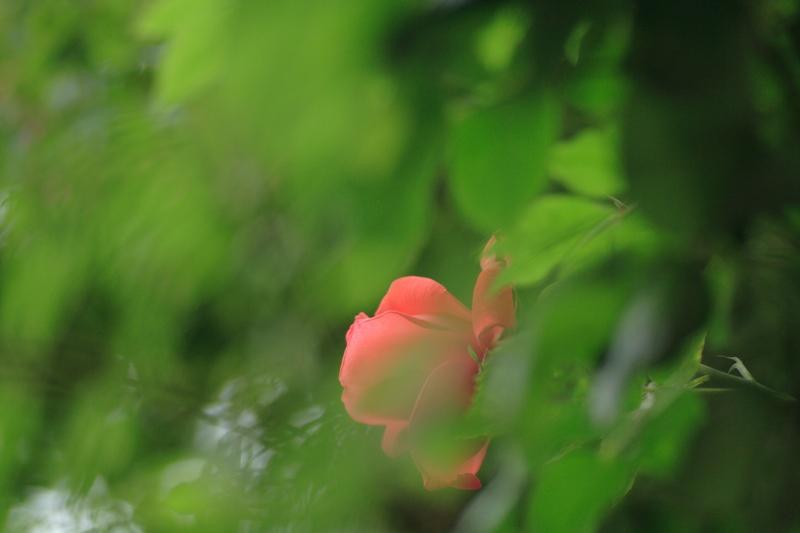 2007_06_22_ばら、ひとひらよこ.JPG