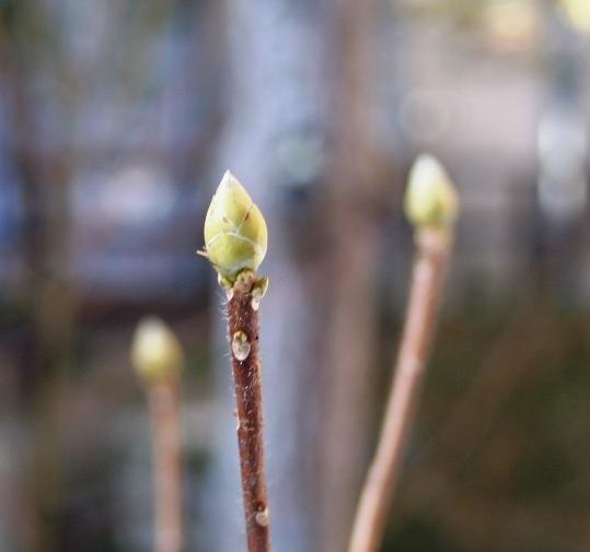 縮小冬の木の芽IMG_0891.jpg